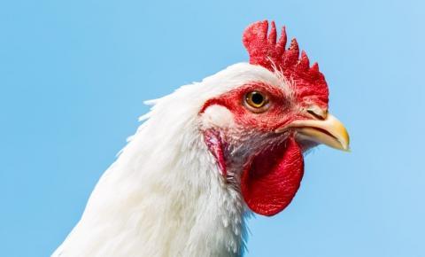 Para o combate à coccidiose aviária -